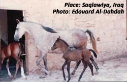 Saqlawiya, Iraq