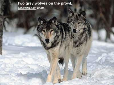 Two grey wolves on the prowl. (GlacierMt.com photo)